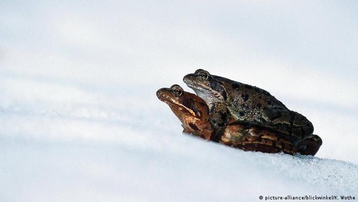 Estos sapos no podrán quedarse mucho tiempo quietos sobre la nieve. Los reptiles y anfibios, así como los roedores, se refugian bajo ramas caídas o en cuevas que cavan para no morir congelados. La naturaleza los dotó de esa gran sabiduría para sobrevivir a la época helada.