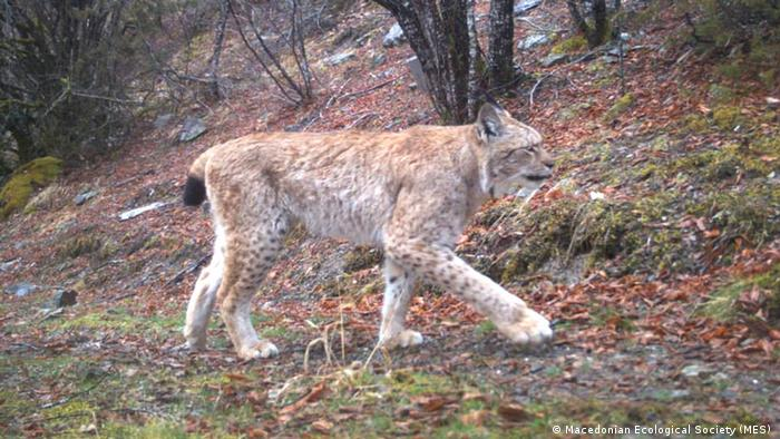 Luchs / Mazedonien (Macedonian Ecological Society (MES) )