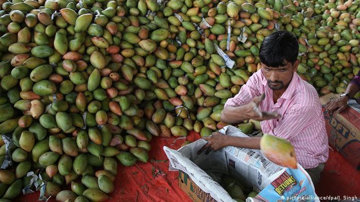 Indien Jammu mango Großmarkt (picture-alliance/dpa/J. Singh)