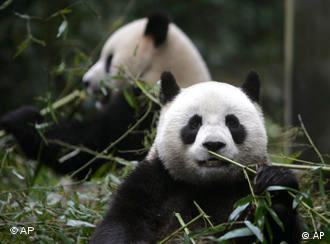 Pandas Tuan Tuan and Yuan Yuan, names together mean reunion, eat bamboo at a panda base in Ya'an, southwest China's Sichuan province, Thursday, Dec. 11, 2008. The pair of pandas that have long been offered to Taiwan by mainland China since 2005 are scheduled to arrive Taiwan before Christmas.(AP Photo/Color China Photo) ** CHINA OUT **