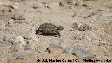Little desert tortoise