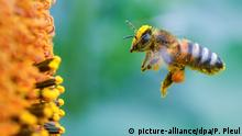 Voll bepackt mit Pollen und Blütenstaub ist eine Biene am 05.07.2016 im Anflug zu einer blühenden Sonnenblume in einem Feld nahe Frankfurt (Oder) (Brandenburg) zu sehen. Im deutschlandweiten Vergleich ist Brandenburg vor allem beim Anbau von Körnersonnenblumen und beim Roggen führend. Foto: Patrick Pleul/ZB | Verwendung weltweit