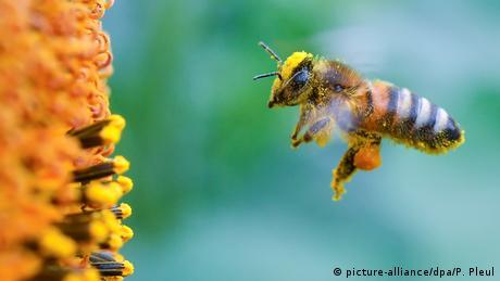 Biene vor Sonnenblume (picture-alliance/dpa/P. Pleul)