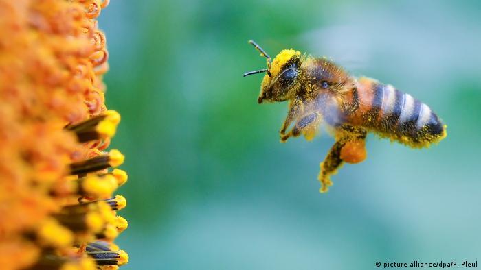 Biene vor Sonnenblume