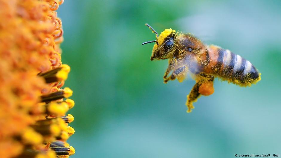 اليوم العالمي للنحل ـ انقراض النحل خسارة كبيرة للإنسان والطبيعة منوعات نافذة Dw عربية على حياة المشاهير والأحداث الطريفة Dw 20 05 2018