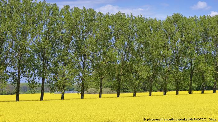 Rapsfeld und Pappel-Baumreihe in den Vier- und Marschlanden, Hamburg, rape field and tree row at the Vier- and Maschlanden, Hamburg (picture-alliance/blickwinkel/McPHOTO/C. Ohde)