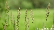Rohr Glanzgras Rohrglanzgras Phalaris arundinacea Rispen Deutschland reed Canary grass Phalari