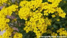 Steinkraut Golden Alyssum saxatile Golden Alyssum saxatile