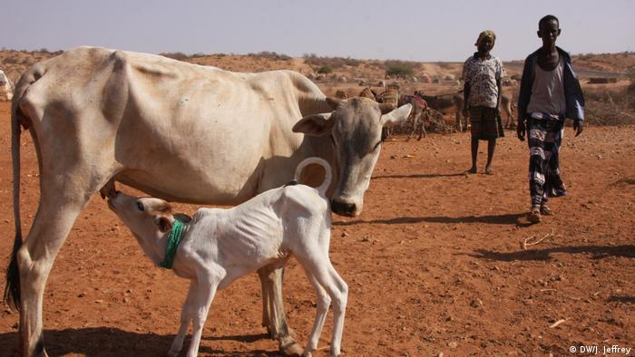A calf drinking milk from a cow. Both are very thin.