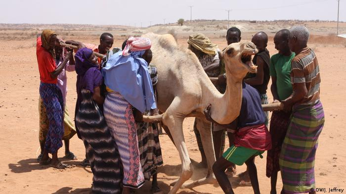 Displaced pastoralists helping a camel to its feet
