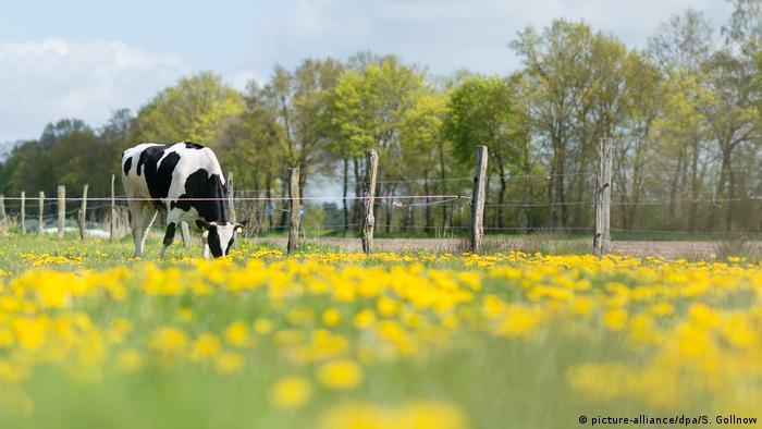 Ökologische Landwirtschaft Kuh auf der Weide (picture-alliance/dpa/S. Gollnow)