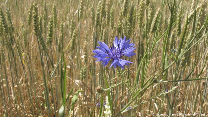 Kornblume, Centaurea cyanus, bachelor's button, bluebottle, cornflower (picture-alliance/blickwinkel/A. Jagel)