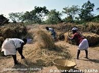 Trabalhos agrícolas na Guiné Bissau, depois da colheita do arroz.