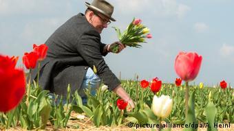 Man picking tulips in a field