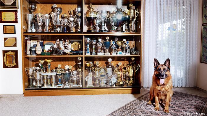 German shepherd by a shelf of trophies (Peter Rigaud)