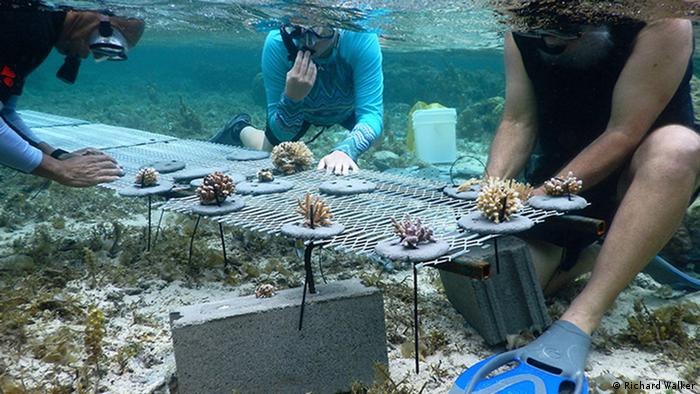 Divers work to attach corals to a net table underwater