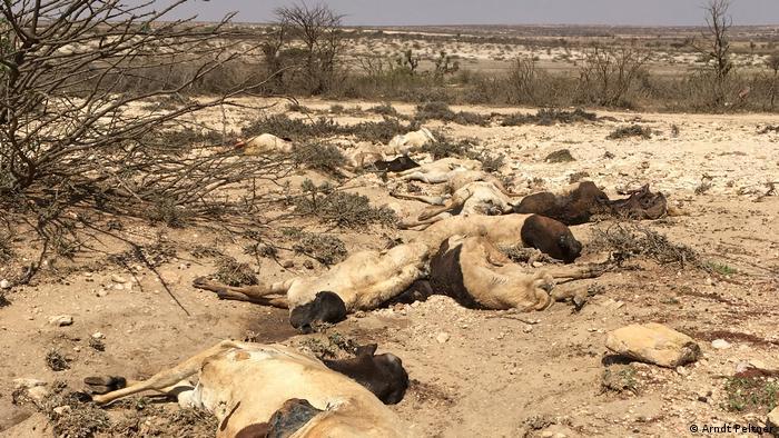 Horn von Afrika Dürre | verendete Ziegen in Somaliland (Arndt Peltner)