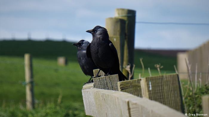 Jackdaws perched on a fence in northern England (Greg Norman)