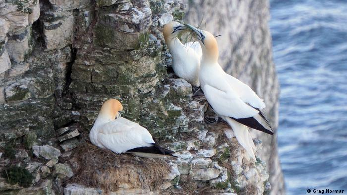 Gannets at the RSPB Bempton Cliffs reserve in Yorkshire, UK (Greg Norman)