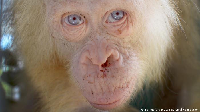 Borneo Orang-Utan (Borneo Orangutan Survival Foundation)