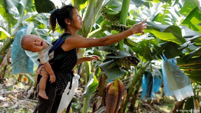 Bananen Boom China Fluch oder Segen Geld und Chemikalien 8 Laos (Reuters/J.Silva)