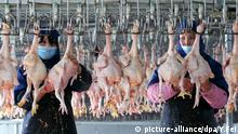 (CHINA OUT) A centralized slaughter centre for poultry in Changzhi, Shanxi province, on Jan 5, 2008. The first anti-bird flu vaccine made in China is safe for human use, its maker Sinovac Biotech claimed last month. The immunity vaccine was developed jointly by Sinovac Biotech, the first to come up with an anti-SARS vaccine, and the Chinese Center for Disease Control and Prevention. The Ministry of Science and Technology and the Ministry of Health supported the program. (Photo by Yan Fei/ChinaFotoPress) +++(c) dpa - Report+++ |