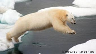 A polar bear jumps from iceberg to iceberg