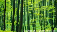 Buchenwald im Fruehling, mit frischem Blattgruen, Blattaustrieb, Deutschland, Thueringen, Hainich Nationalpark | beech forest in spring, with fresh leaves, foliation, Germany, Thueringen, Hainich National Park | Verwendung weltweit