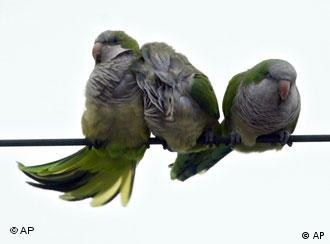 Three parakeets sit on a wire huddled together