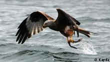 Photo: A female Eurasian sea eagle grabs an eel from the water (Source: Kayda)