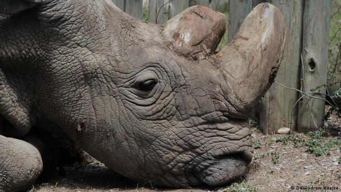 Last remaining male northern white rhino seen at Ol Pejeta Conservancy in central Kenya (DW/Andrew Wasike)