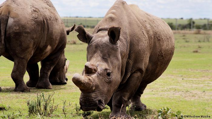 Last remaining northern white rhinosseenat Ol Pejeta Conservancy in central Kenya