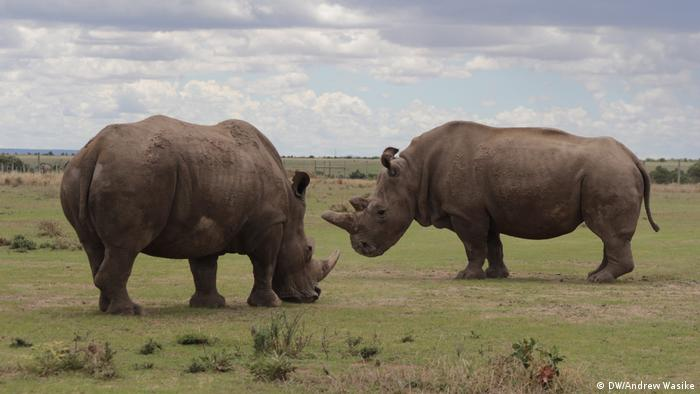 Last remaining northern white rhinos, Ol Pejeta Conservancy, Kenya