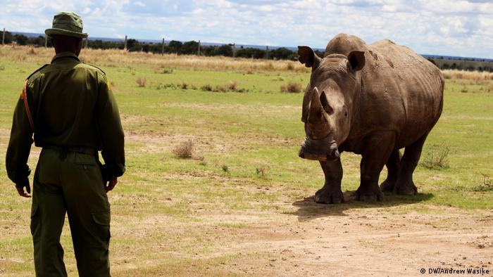 Sudan, the last male northern white rhino (DW/Andrew Wasike)