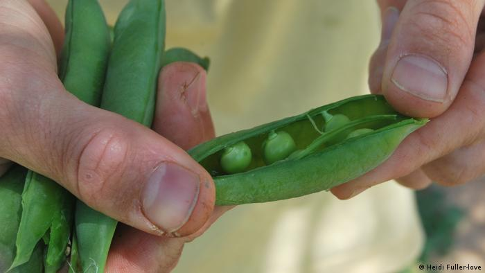 Hand holding pea pod at lleniko Community Gardens Athens (Heidi Fuller-love)
