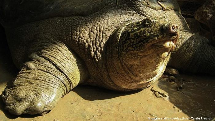 Archive photo of a Yangtze giant softshell turtle. (picture alliance/dpa/Asien Turtle Program)