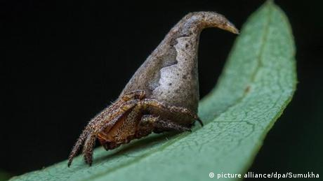 Eriovixia gryffindori - Harry-Potter-Spinne (picture alliance/dpa/Sumukha)