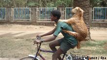 ARCHIV 2009 **** Ein Junge fährt mit einem Schaf auf dem Rücken mit dem Fahrrad durch die Straßen von Bahir Dar in Nordäthiopien. (Aufnahme vom 2009). Radfahren in der äthiopischen Hauptstadt Addis Abeba ist lebensgefährlich. Die meisten Straßen haben tiefe Schlaglöcher, Tiere und Viehherden überqueren plötzlich die Fahrbahn, und Autofahrer brettern mit ihren alten Ladas und Toyotas ohne Rücksicht auf Zweitradfahrer durch die Gegend. Ein lustiger Anblick sind radfahrende Schafe: So mancher Viehhalter schnallt sich einfach seine Tiere auf den Rücken, um sie von A nach B zu transportieren. Foto: Carola Frentzen (zu dpa-Themenpaket Fahrrad «Radelnde Schafe und tiefe Schlaglöcher in Äthiopien» vom 03.04.2012). |