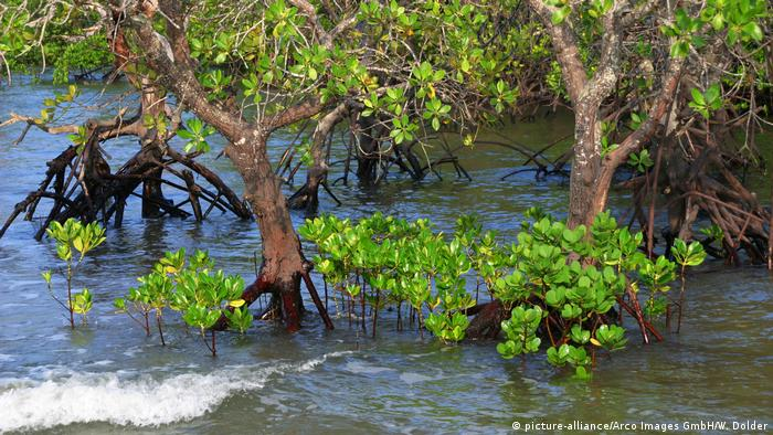 Mangroves at high tide (picture-alliance/Arco Images GmbH/W. Dolder)