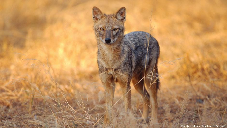 Wolf Like Golden Jackal Discovered In Northern Germany