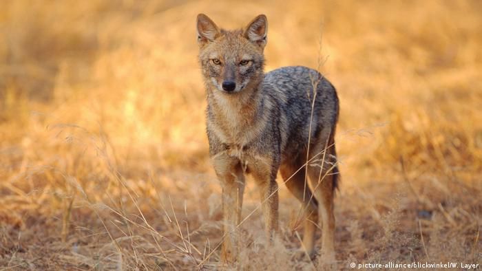 Portrait of a golden jackal in Rajasthan, India (picture-alliance/blickwinkel/W. Layer)