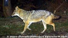 Canis aureus (picture-alliance/dpa/Nationalpark Bayerischer Wald/LfU)