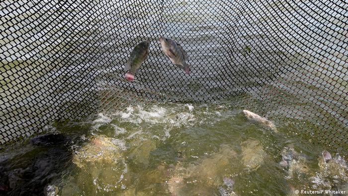 Duas tilápias presas ao ar livre numa rede na barragem de Castanhão. Abaixo delas, vê-se o rio com outros peixes, enquanto a rede, qeu ocupa a parte superior da imagem, é recolhida