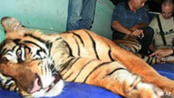 Veterinarians of Veterinary Society for Sumatran Wildlife Conservation (VESSWIC) examine a tranquilized Sumatran tiger prior to its relocation into the wild in Banda Aceh, Sumatra island, late Friday, Dec. 26, 2008. The Sumatran tiger, or Panthera tigris sumatrae, is the world's most critically endangered tiger subspecies _ WWF estimates fewer than 400 remain in the wild in comparison to about 1,000 in the 1970s. The tigers' diminishing population is largely blamed on poaching and the destruction of their forest habitat for palm oil and wood pulp plantations. (AP Photo/Heri Juanda) FRIDAY, DEC. 26, 2008 PHOTO, MADE AVAILABLE SATURDAY, DEC. 27, 2008