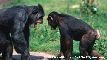 جفت گیری شامپانزه شامپانزهها و جفتگیری در ازای غذا   دانش و فناوری   DW ...