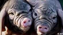 BdT zwei chinesische Maskenschwein Ferkel im Tierpark Berlin