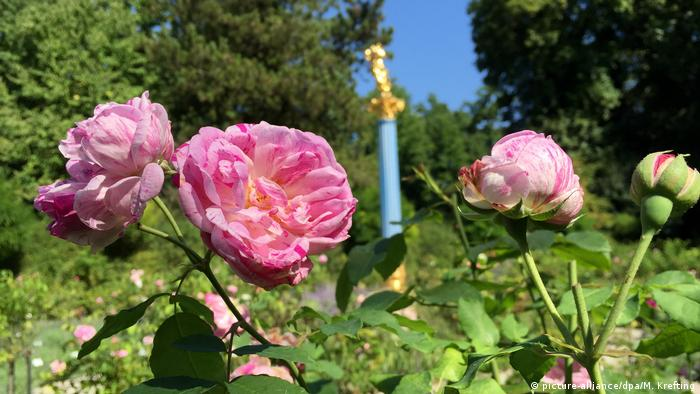 Pink roses in bloom (picture-alliance/dpa/M. Krefting)