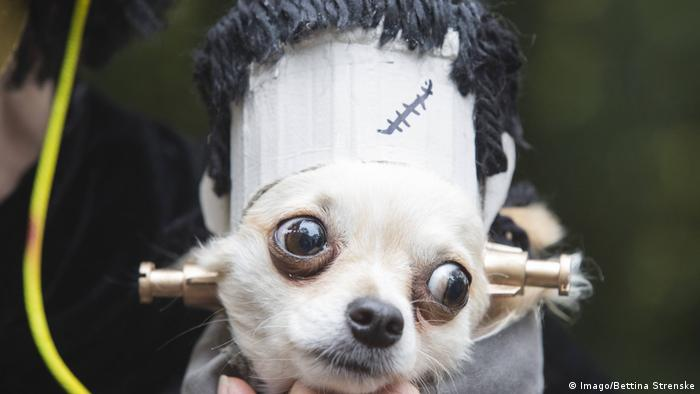A chihuahua wearing a Frankenstein outfit (Imago/Bettina Strenske)
