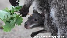 BdT Deutschland - Känguru-Nachwuchs im Zoo Stralsund
