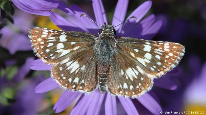 Una mariposa conocida como fronteriza descansa sobre una flor.